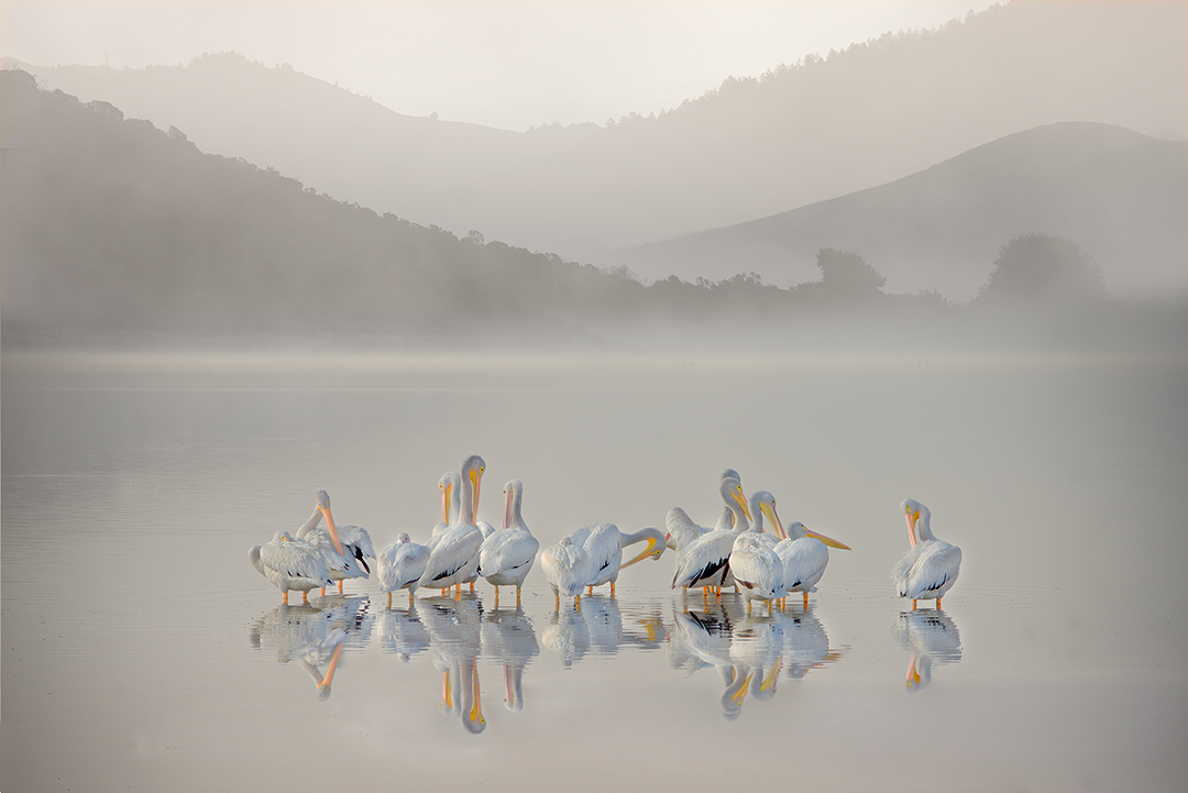 Heather Summerz | Preening Pelicans